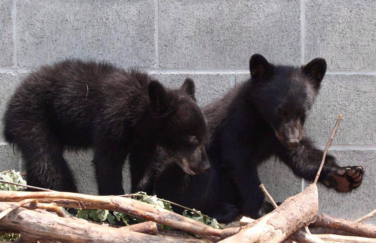 Black bear cubs Athena and Jordan look on from their enclosure at the North Island Wildlife Recovery Association in Errington, B.C., on July 8, 2015. Conservation Officer Bryce Casavant won the hearts of animal lovers when he opted not to shoot the baby bears in July after their mother was destroyed for repeatedly raiding homes near Port Hardy, B.C. THE CANADIAN PRESS/Chad Hipolito